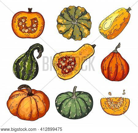 Colorful Pumpkin Set. Acorn Squash, Vector Drawing Of Vegetables And Herbs.