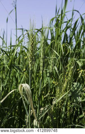 Green Ears Of Wheat With Snails On Them Close-up Among Green Grass