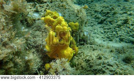 Yellow Tube Sponge Or Golden Sponge (aplysina Aerophoba) Undersea, Aegean Sea, Greece, Halkidiki