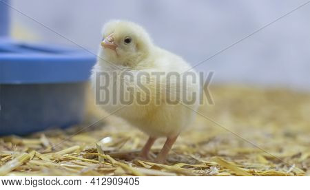Baby Broiler Chicken In A Cage Near The Feeder. Selective Focus.