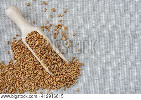 Whole Wheat Grain Kernels On Burlap Background. Wheat Grains Agricultural Background. Harvest, Cerea