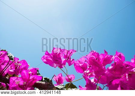 Bougainvillea flower over blue sky with space for your text