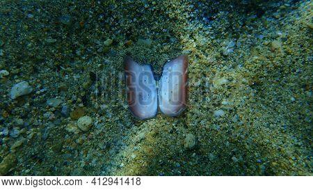 Seashell Of A Bivalve Mollusc Rosy Razor Clam (solecurtus Strigilatus) Eaten By Octopus On Sea Botto