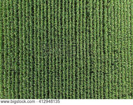 Green Maize Corn Field Plantation In Summer Agricultural Season.