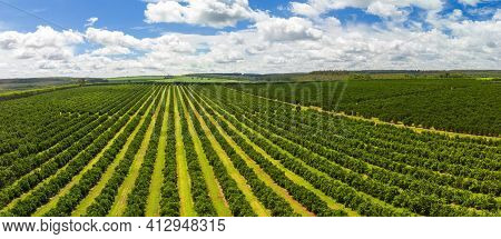Aerial Views Over Top Of Rows Of Orange Trees In Plantation.