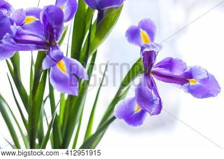 Japanese Irises Over Blurred Background, Close Up Photo With Soft Focus. Iris Laevigata