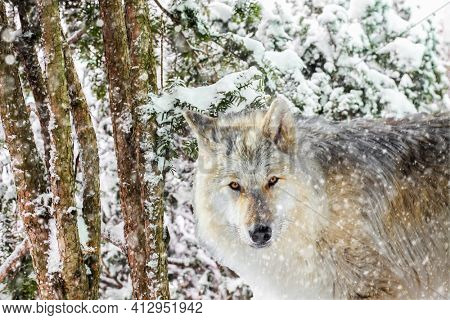 Wolf in winter storm looking at camera with copy or text space