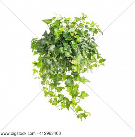 ivy isolated on a white background