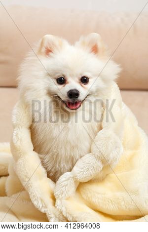 A Cute White Pomeranian Spitz Wrapped In A Fluffy Blanket. The Dog Is Sitting On The Couch.