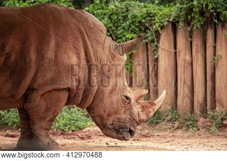 Closeup Photo Of Rhino In Its Enclosure At The Zoo.