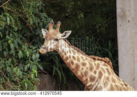 Closeup Of Giraffe Feeding. Beautiful Animal In Zoo
