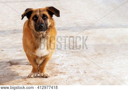 Homeless Cute Dog, Sadly Looks At Us. A Short-legged Stray Dog Looks At Us Reproachfully. Copy Space