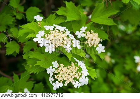 White Flowers Of Viburnum On A Background Of Green Foliage. Viburnum Blooms In Full Force. White Vib