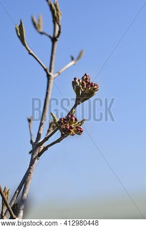 Arrowwood Anne Russell Branch With Flower Buds - Latin Name - Viburnum X Burkwoodii Anne Russell