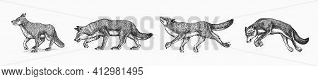 Gray Wolf Set. Gray Wolf. A Predatory Beast. Wild Forest Animal. Vector Engraved Hand Drawn Vintage