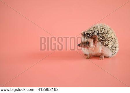 Hedgehog On A Pink Background. Female Hedgehog. Pygmy House Hedgehog. African White-bellied Hedgehog