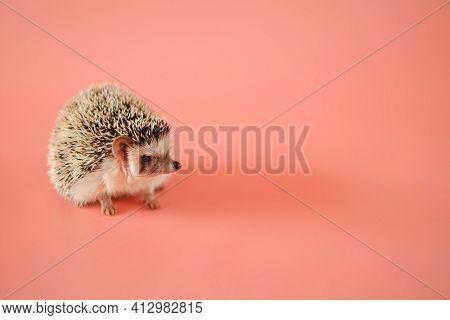 Hedgehog On A Pink Background. Female Hedgehog. Pygmy Hedgehog. African White-bellied Hedgehog Close