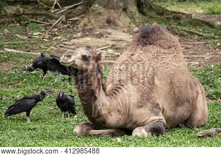 Camel Lying Down Trying To Sleep And The Vultures Wanting To Eat Him.