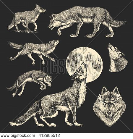 Gray Wolf. Gray Wolf. A Predatory Beast. Wild Forest Animal. Vector Engraved Hand Drawn Vintage Old