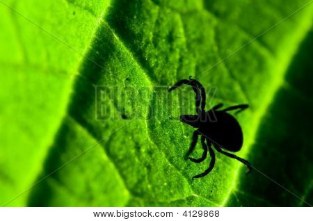 Castor bean tick on the leaf. Ixodes ricinus. poster