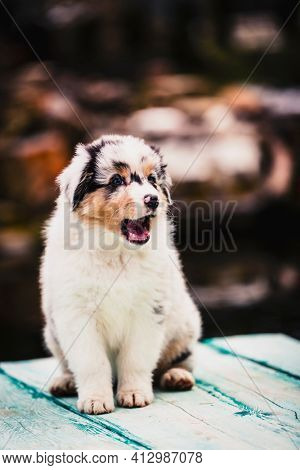 Adorable australian shepherd cute puppy smiling.