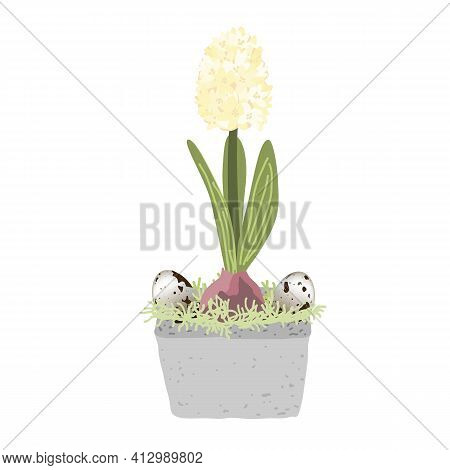 Blue Hyacinth In Pot Isolated On White Background Decorated With Quail Eggs And Moss. Bulb Spring Fl