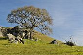 Black and white cow in a grassy field next to an oak tree with boulders nearby poster