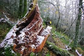 Tree trunk snowed on a footpath