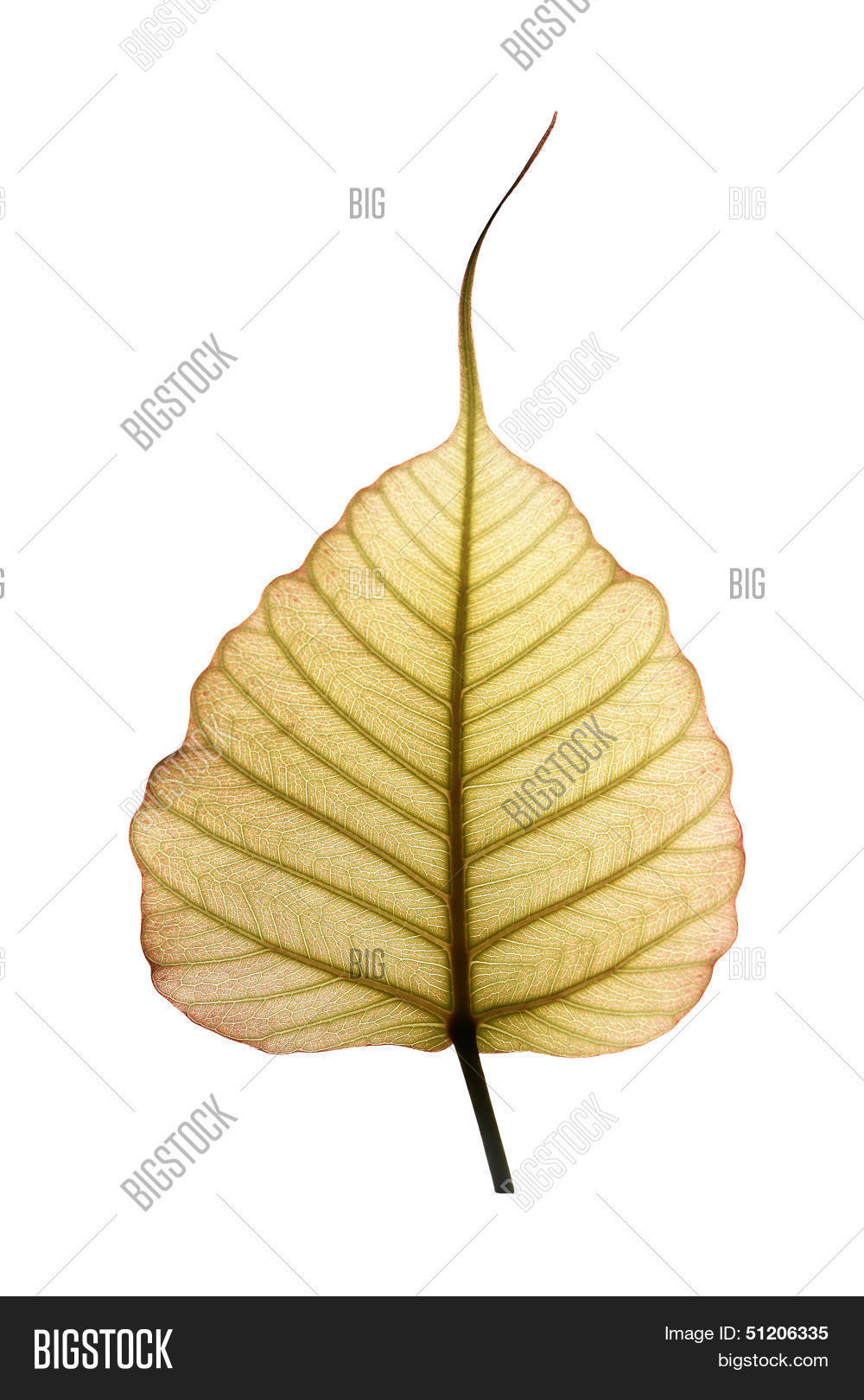 Heart Shaped Peepal Pipal Tree Leaf Image Photo Bigstock