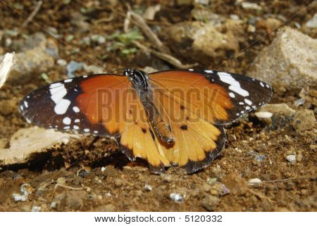 Butterfly On The Ground With Wings Opens