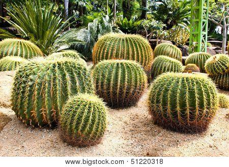 Giant cactus in Nong Nooch Tropical Botanical Garden Pattaya Thailand. poster