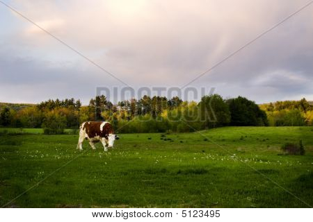 Grazing Ox At Sunset