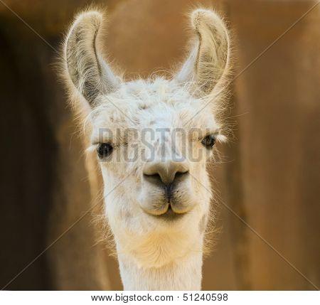 A Close Portrait Of A White Llama
