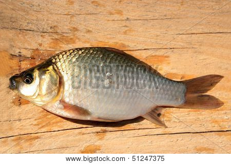 Caught Big White Crucian