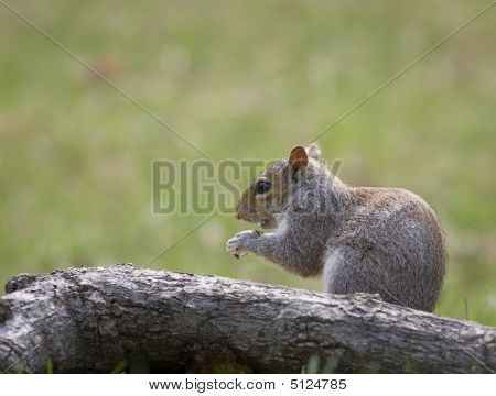 Squirrel With The Munchies