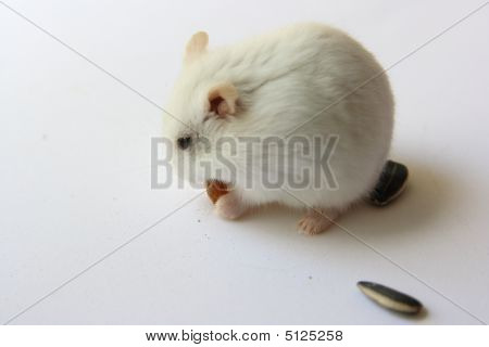 Hamster And Small Snack