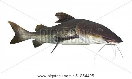 Tropical fish. The Marbled Catfish (Sciades marmoratus).