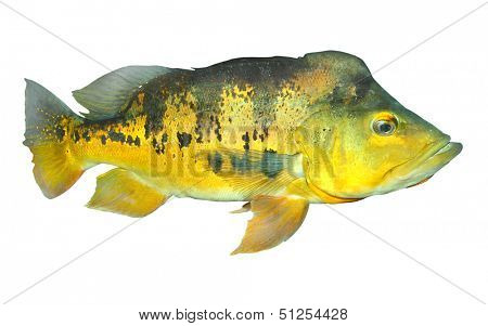 The Bass fish on a white background. poster