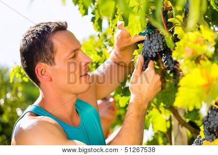 Man, winegrower, picking grapes with shear at harvest time in the sunshine