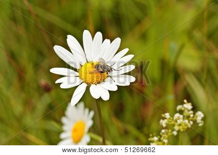 Camomile with a fly