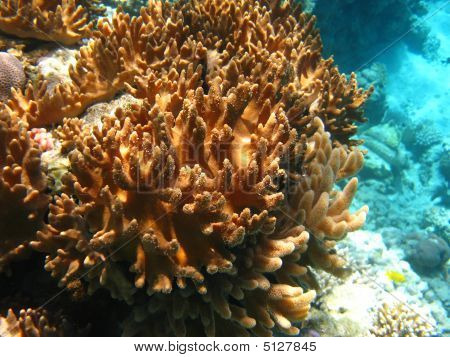 Soft Corals In Red Sea