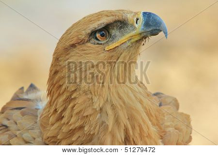 Tawny Eagle - Wild Bird Background from Africa - Looking for Angels
