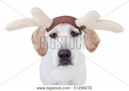 A funny Christmas reindeer dog - A Labrador