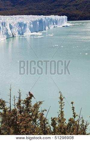 Bird Standing Close To The Perito Moreno Glacier.