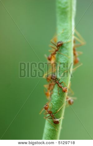Macro of Formicidae ants on green bean with low depth of field poster