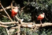 A pair of pink or scarlet ibis birds perched on a tree poster