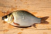 caught big white crucian laying on the wooden board poster