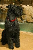 black keery blue terrier dog sitting outdoors on a patio with rocks and a water falls poster