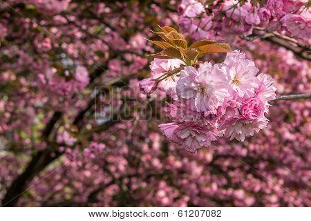 Pink Blossomed Sakura Flowers In Blur