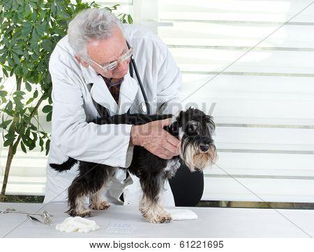 Veterinarian With Miniature Schnauzer